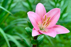 Lily flower. Lily flower on a background of green grass Stock Images