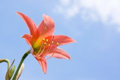 Lily flower. And blue sky background Royalty Free Stock Photography
