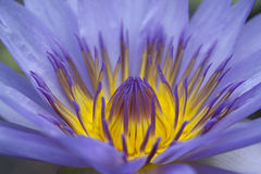 Lily flower. A close up view of blue lily flower in a pond Royalty Free Stock Photo