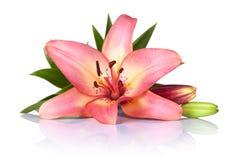 Lily Flower fotografering för bildbyråer