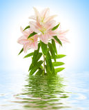 Lily flower Stock Photos