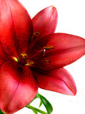 Lily flower. Close up of a red Lily isolated on white background stock photography