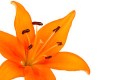 Lily flower. Orange lily flower isolated on white Royalty Free Stock Images