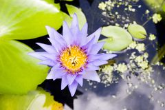 Lily Flower. A water-lily flower on Koh Samui, Thailand Royalty Free Stock Photos