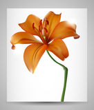 Lily flower abstract. Stock Photo