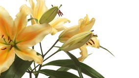 Lily Flower arancio al rallentatore archivi video