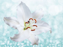 Lily flower on background with bokeh effects. Royalty Free Stock Photo