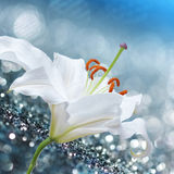 Lily flower on background with bokeh effects. Stock Images