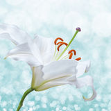 Lily flower on background with bokeh effects. Royalty Free Stock Photography