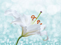 Lily flower on background with bokeh effects. Royalty Free Stock Images