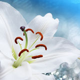 Lily flower on background with bokeh effects. Stock Photo