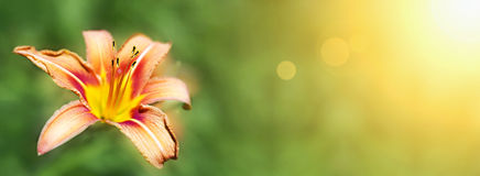 Lily flower banner Stock Photography