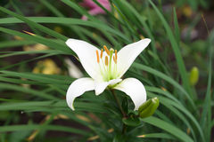 Lily flower Royalty Free Stock Photo