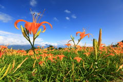 Lily Flower. Beautiful landscape of lily flowers ,Taiwan Stock Photo