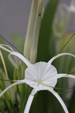 Lily flower. Beautiful white lily and a variety of species stock photo