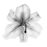 Lily flower in black and white isolated on white stock photos