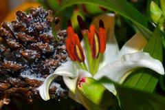 Lily Flower blanca Fotos de archivo libres de regalías