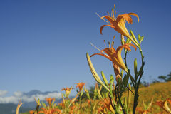 Lily flower bloom with beautiful rural scene Stock Photos