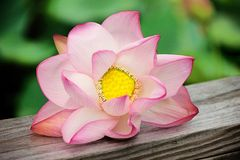 Lily Flower. A bloom of a water lily flower laying on a deck rail Stock Photography