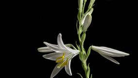 Lily Flower Blooming blanca