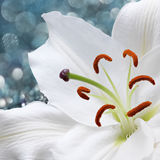Lily flower on blue background with bokeh effects. Royalty Free Stock Photos