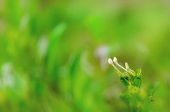 lily flower bud with bokeh background Royalty Free Stock Photos