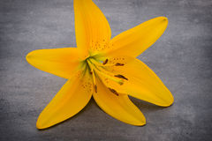 Lily flower with buds on a gray background. Royalty Free Stock Image