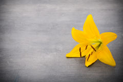 Lily flower with buds on a gray background Royalty Free Stock Photography