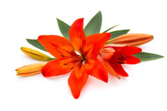 Lily flower with buds  on a white background. Royalty Free Stock Photos