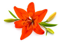 Lily flower with buds  on a white background. Stock Image