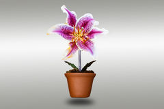 Lily flower in clay pots Stock Photos