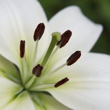 Lily Flower Close Up blanche Images libres de droits