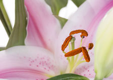 Lily flower Royalty Free Stock Photos