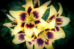 Lily flower close up yellow and bordo straps Stock Photography