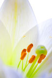 Lily  flower closeup Royalty Free Stock Image