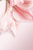 Lily flower closeup Royalty Free Stock Images