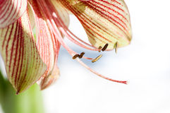 Lily flower closeup Royalty Free Stock Photography