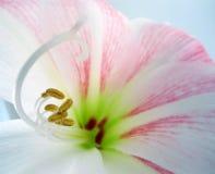 Lily Flower cor-de-rosa e branca com estames de Brown Fotografia de Stock Royalty Free