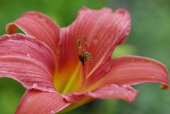 Lily, Flower, Daylily, Close Up Royalty Free Stock Photo