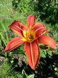Lily, Flower, Daylily, Flora Royalty Free Stock Image