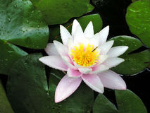 Lily flower. Among dew leaves on the water royalty free stock images