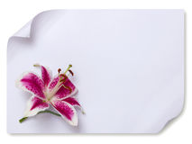Lily flower on empty paper Stock Images
