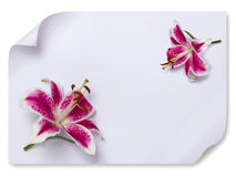 Lily flower on empty paper Royalty Free Stock Photography