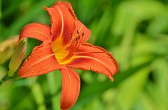 Lily, Flower, Flora, Orange Lily royalty free stock photography