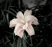 Lily Flower foncée Images stock