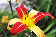 Lily flower in the forest Royalty Free Stock Photography