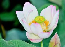 Lily Flower. A full bloom of a lily flower Royalty Free Stock Images