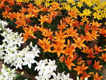 Lily Flower garden Royalty Free Stock Image