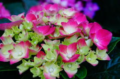 Lily, flower, garden, flower shop, sale, flower petals, plant, natural, landscape, tourism, background Royalty Free Stock Photography