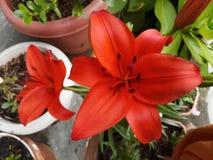 Lily Flower Garden Nature arancio fotografia stock libera da diritti